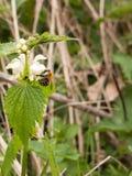 Una macro de una abeja con su cuerpo en la demostración que come y que cosecha el som Imagen de archivo libre de regalías