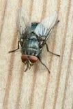 Una macro de una mosca Imágenes de archivo libres de regalías