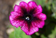 Una macro fine sul fiore della petunia fotografie stock libere da diritti