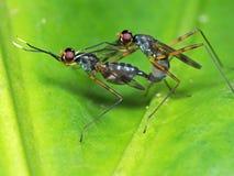 Una macro foto di due insetti facendo sesso sulla foglia verde fotografia stock