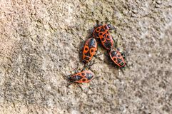 Una macro foto di quattro insetti di fuoco Immagine Stock