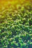Una macro fotografia di una pianta con le piccole foglie brillanti è simile ai verdi succosi variopinti di una foresta leggendari Immagine Stock