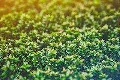 Una macro fotografia di una pianta con le piccole foglie brillanti è simile ai verdi succosi variopinti di una foresta leggendari Fotografia Stock Libera da Diritti