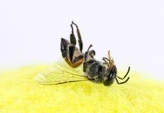 Una macro muerta de la abeja al revés Imágenes de archivo libres de regalías
