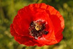 Una macro roja floreciente de la amapola en el campo Foto de archivo