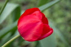 Una macro rossa del fiore sul fondo del campo Fotografia Stock
