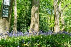 Una madera azul de la campana en primavera Fotos de archivo libres de regalías