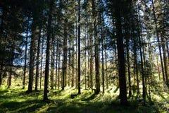 Una madera con los árboles imperecederos en Strondheim Fotografía de archivo