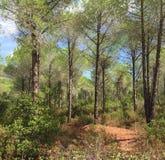 Una madera de pinos Foto de archivo