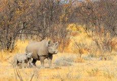 Una madre blanca del rinoceronte y su becerro en el parque nacional de Etosha Imágenes de archivo libres de regalías
