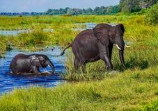 Una madre del elefante africano y un becerro que salen de un río de Botswana fotos de archivo