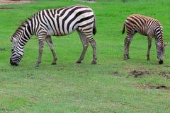 Una madre di due zebre Immagini Stock Libere da Diritti