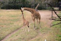 Una madre e una prole della giraffa immagini stock libere da diritti