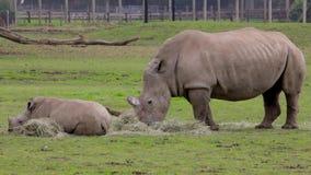 Una madre y un niño del rinoceronte que se relajan almacen de metraje de vídeo