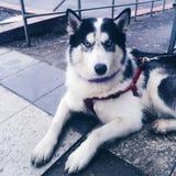 Una maestà del cane Fotografia Stock
