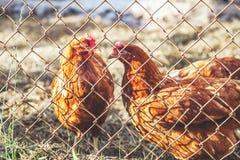Una maglia di due polli per recintare Fotografie Stock Libere da Diritti