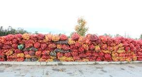 Una maglia insacca delle mele di recente selezionate per l'industria del succo sul primo mattino Fotografia Stock