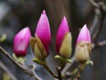 Las magnolias Fotos de archivo
