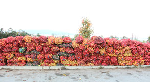 Una malla empaqueta de las manzanas recientemente escogidas para la industria del jugo el madrugada Foto de archivo