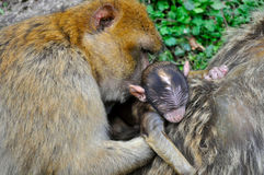 Una mamá del mono con su niño Imagen de archivo