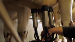 Una mammella da una mucca stock footage
