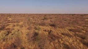 Una manada de búfalos se coloca en la sabana de Namibia metrajes