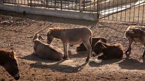 Una manada de burros en el prado en el rancho naturaleza, animales almacen de metraje de vídeo