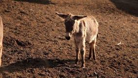 Una manada de burros en el prado en el rancho naturaleza, animales metrajes
