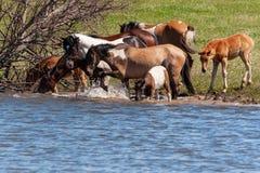 Una manada de caballos con los potros bebe el agua de la charca y de la fiesta Bashkiria imagen de archivo