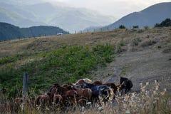 Una manada de caballos en un pasto de la alta montaña Fotos de archivo libres de regalías