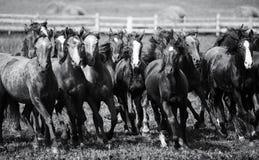Una manada de caballos jovenes imagen de archivo