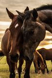 Una manada de caballos pasta y se divierte con uno a en la puesta del sol fotografía de archivo