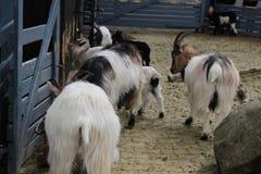 Una manada de cabras en un granero tradicional viejo de la montaña imagenes de archivo