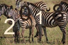 Una manada de cebras Imagenes de archivo