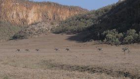 Una manada de cebras africanas se está siguiendo en un fondo de montañas almacen de video