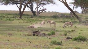 Una manada de cebras en un campo, uno baja en la tierra y comienza a picar almacen de metraje de vídeo