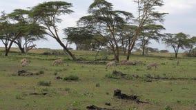 Una manada de cebras en un campo, uno baja en la tierra y comienza a picar 4k metrajes