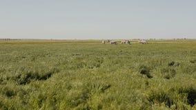 Una manada de cebras está pastando en la estepa La hierba está moviendo encendido el viento almacen de metraje de vídeo