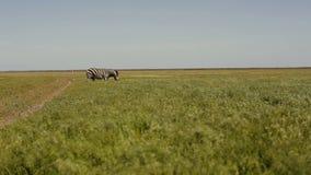 Una manada de cebras está pastando en la estepa La hierba está moviendo encendido el viento almacen de video