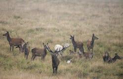 Una manada de ciervos comunes Imagenes de archivo