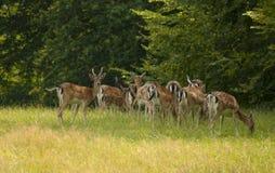 Una manada de ciervos en barbecho imagen de archivo