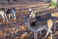 Una manada de ciervos en el bosque otoñal fotos de archivo