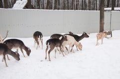 Una manada de ciervos en invierno Fotos de archivo