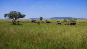 Una manada de elefantes cruza la sabana fotos de archivo