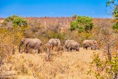 Una manada de elefantes en el parque nacional de Kruger imágenes de archivo libres de regalías