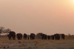 Una manada de elefantes en la puesta del sol Imágenes de archivo libres de regalías