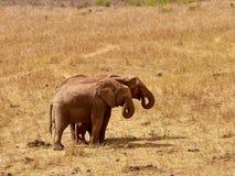 Una manada de elefantes es salvaje y de palpitación en safari en Kenia, África Árboles e hierba fotos de archivo libres de regalías