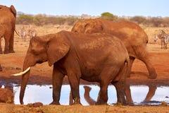 Una manada de elefantes es salvaje y de palpitación en safari en Kenia, África Árboles e hierba imagen de archivo libre de regalías