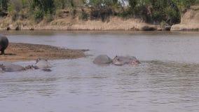 Una manada de hipopótamos descansa la mentira en la playa y en el agua del río 4k de Mara metrajes