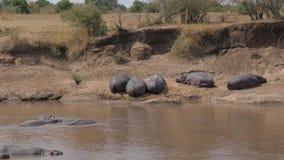 Una manada de la reclinación divertida de los hipopótamos sobre la orilla y de la mentira en el agua almacen de video